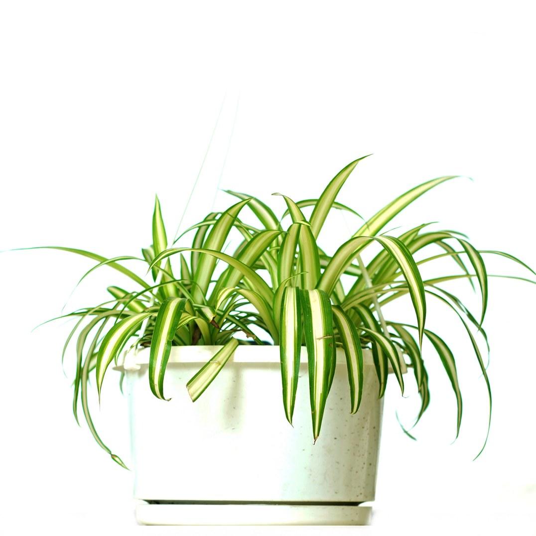 Chlorophytum Comosum Vittatum Indoor Plants