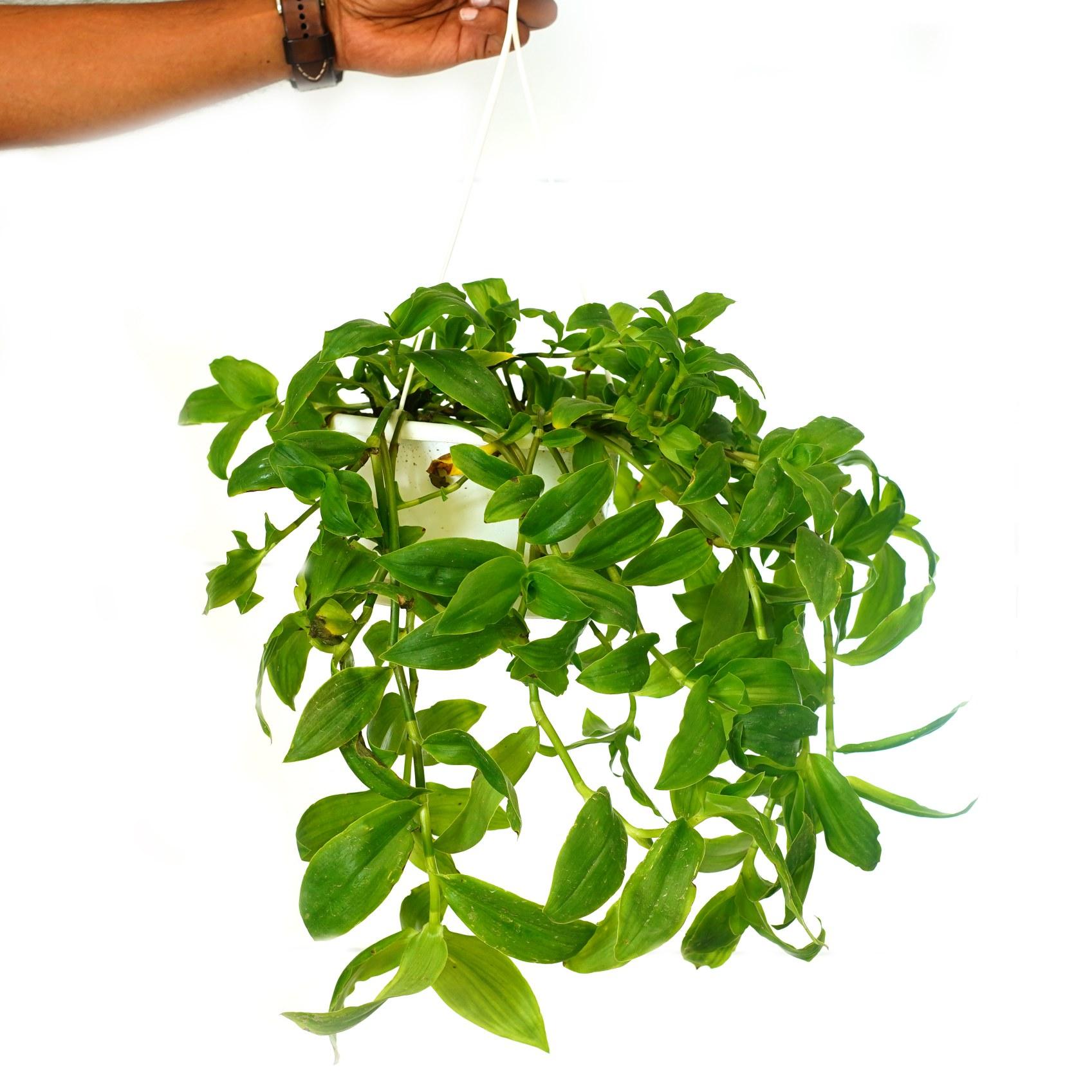 ترادسكانتيا أندرسونيانا 'نباتات داخلية'