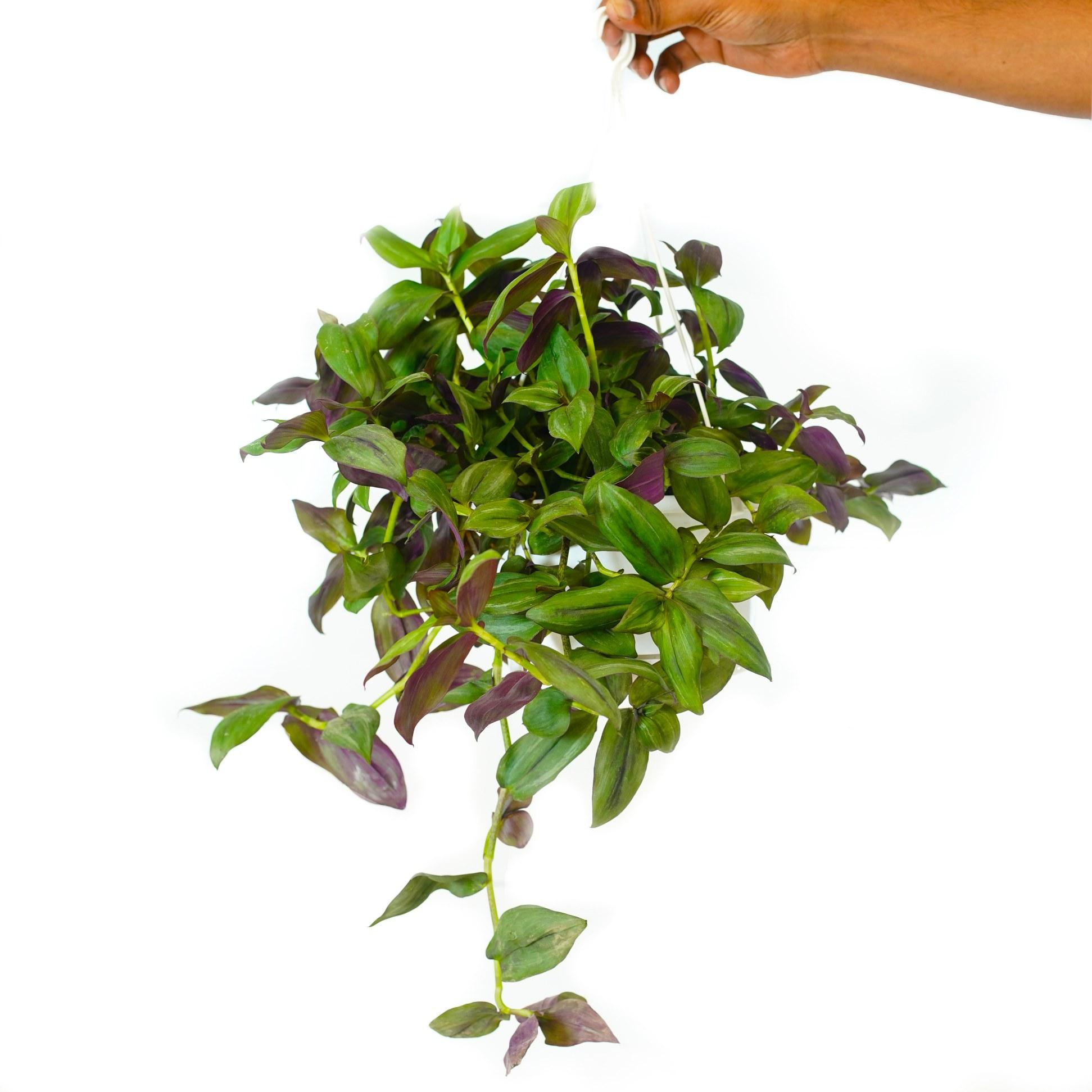 ترادسكانتيا جرين هيل 'نباتات داخلية'