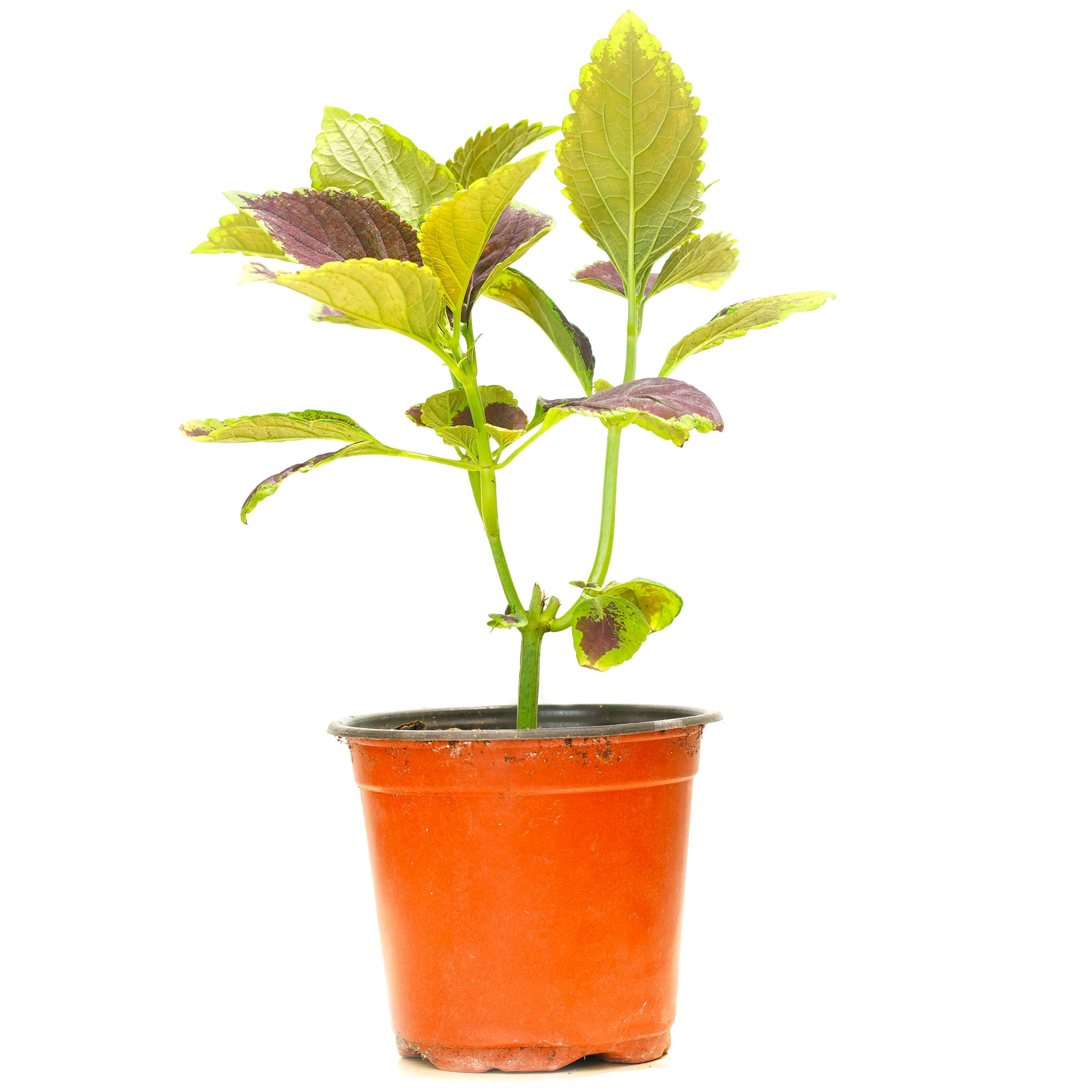 كوليوس نباتات داخلية