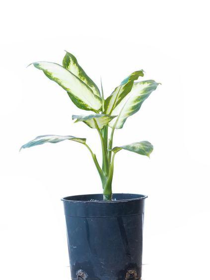 Dieffenbachia Camilla Indoor Plants