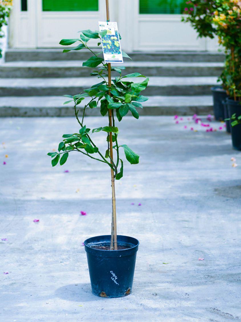 يوريكا ليمون نباتات خارجية