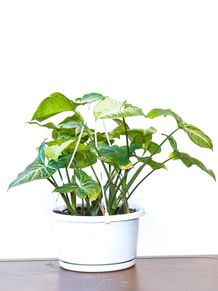 Syngonium Podophyllum Indoor Plants