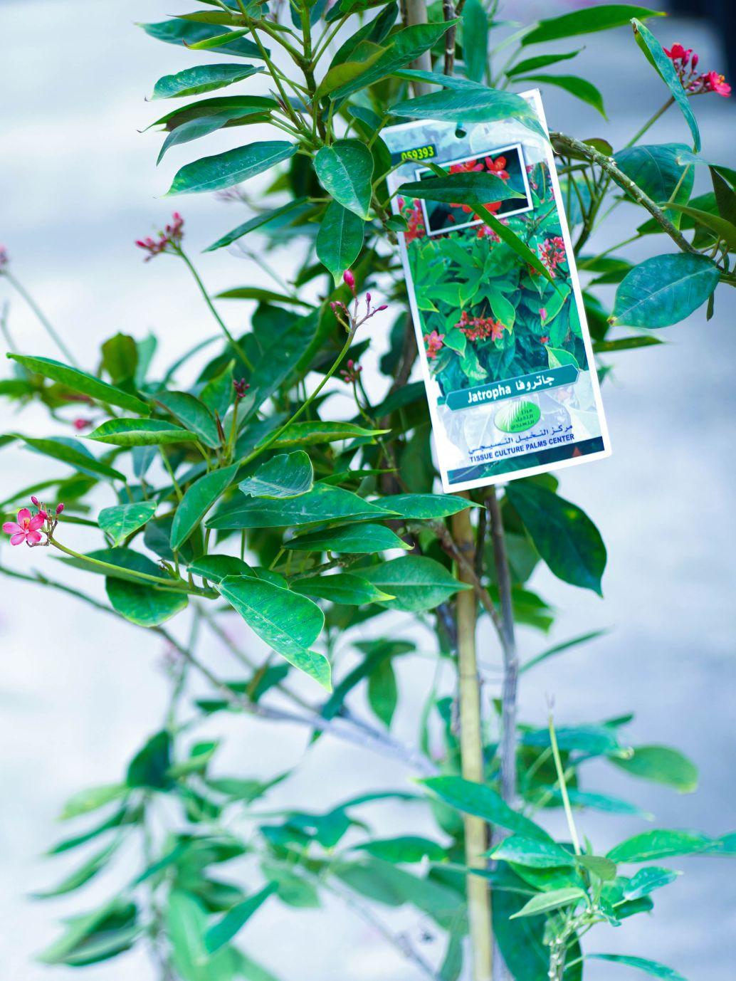 جاتروفا 'نباتات خارجية'