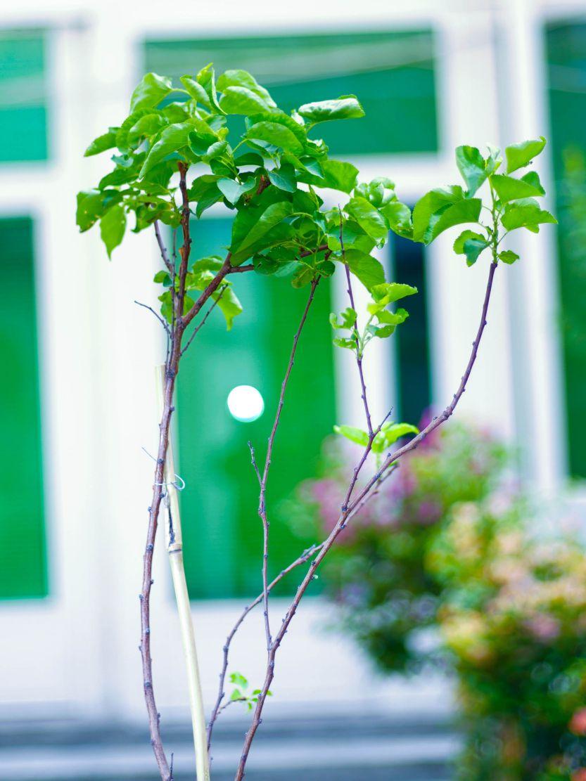 مشمش نباتات خارجية