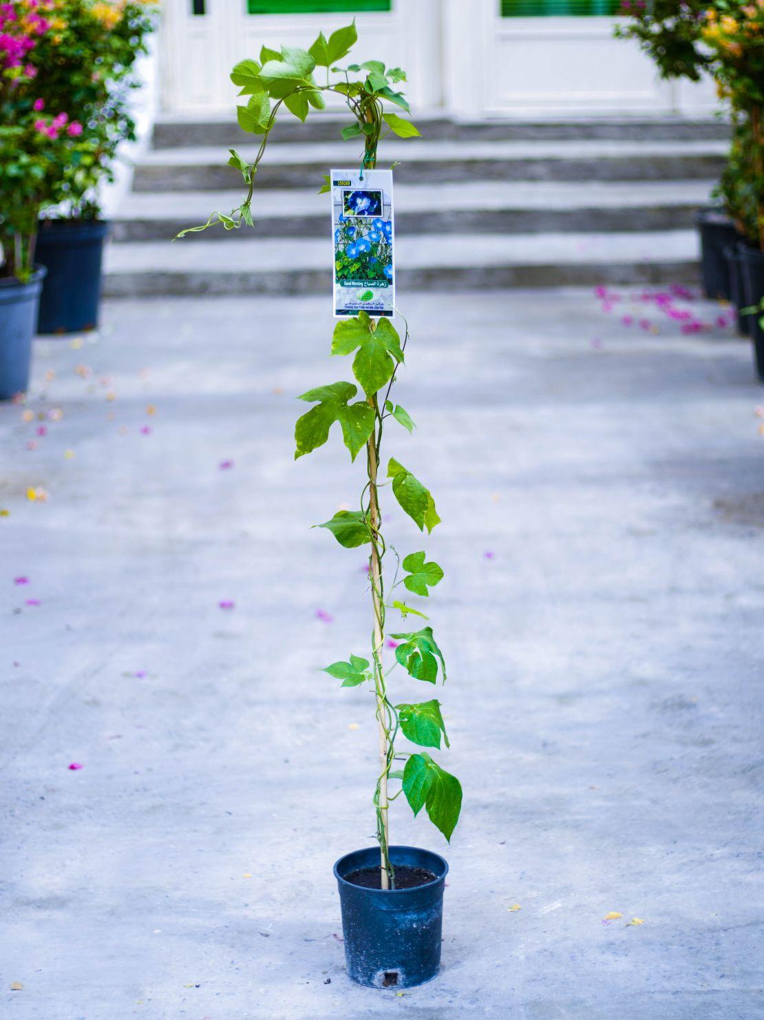 Ipomoea Purpurea 'Outdoor Plants'