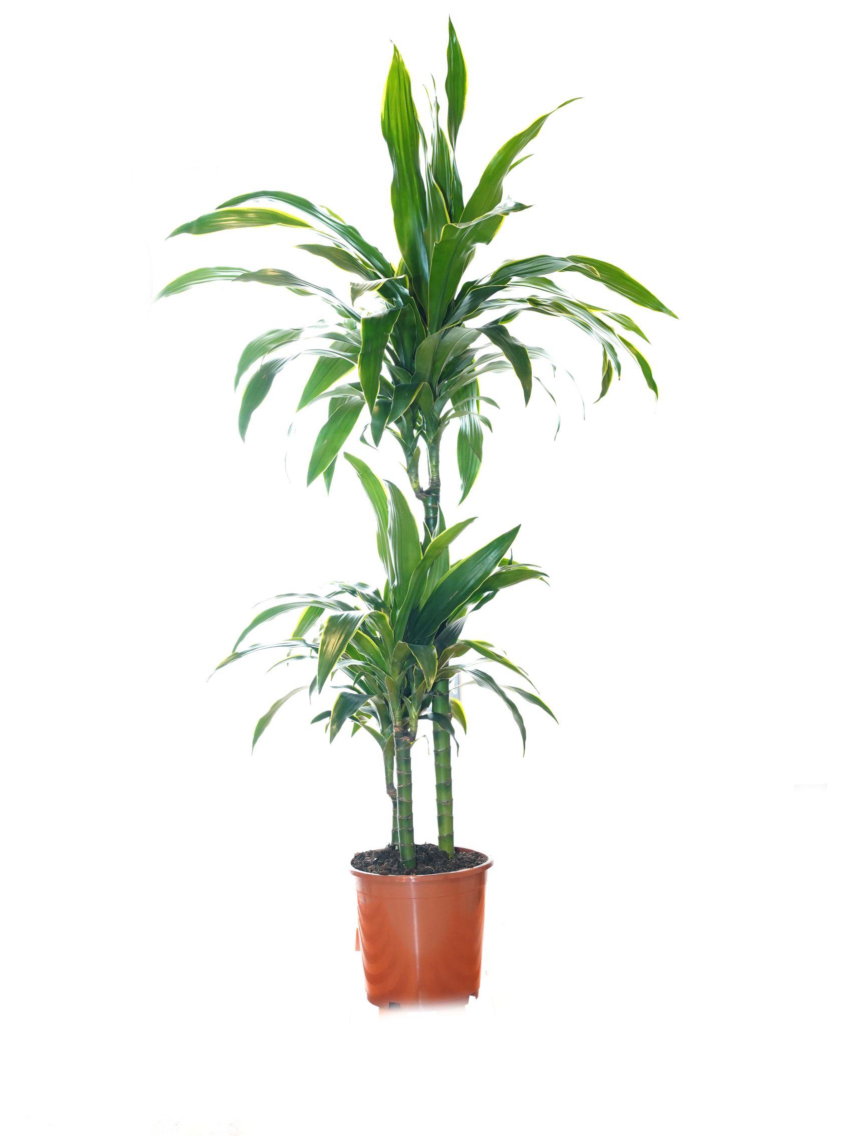 Dracaena J. Craig BLACK POT Indoor Plants