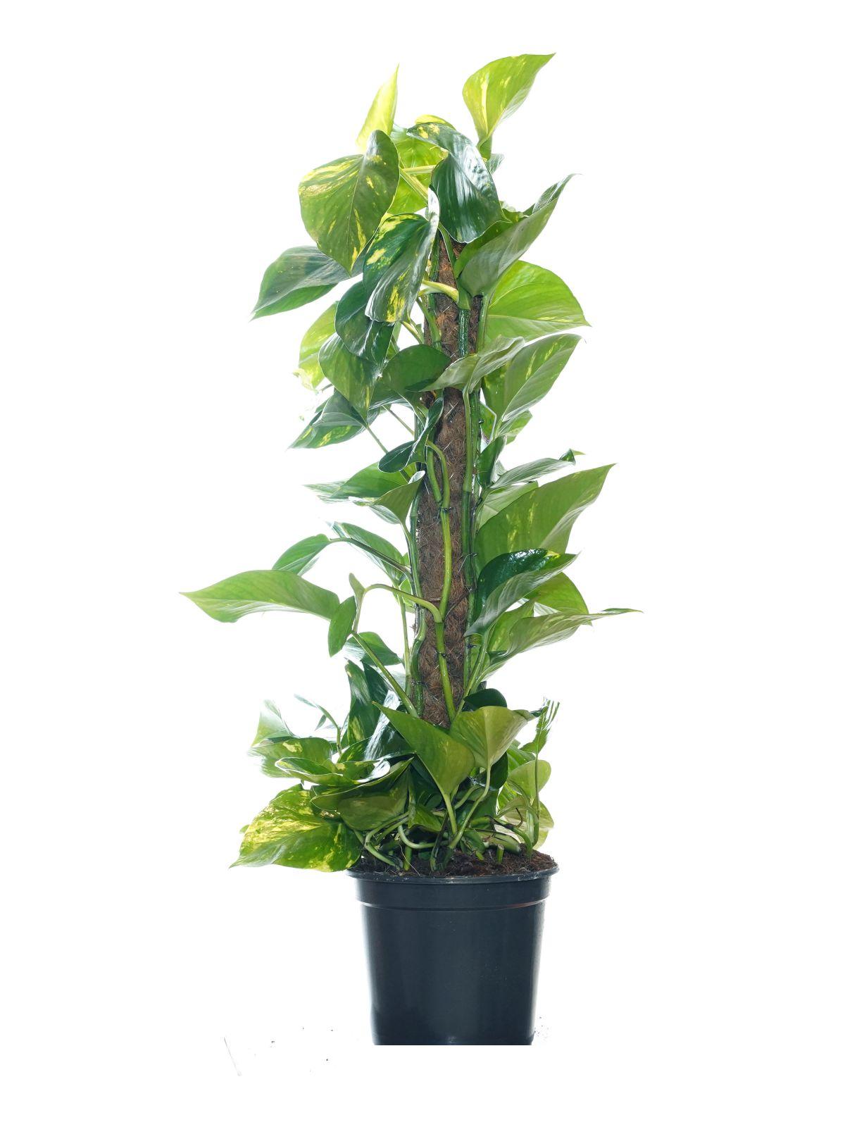 ايبريمنيوم أوريوم نباتات داخلية