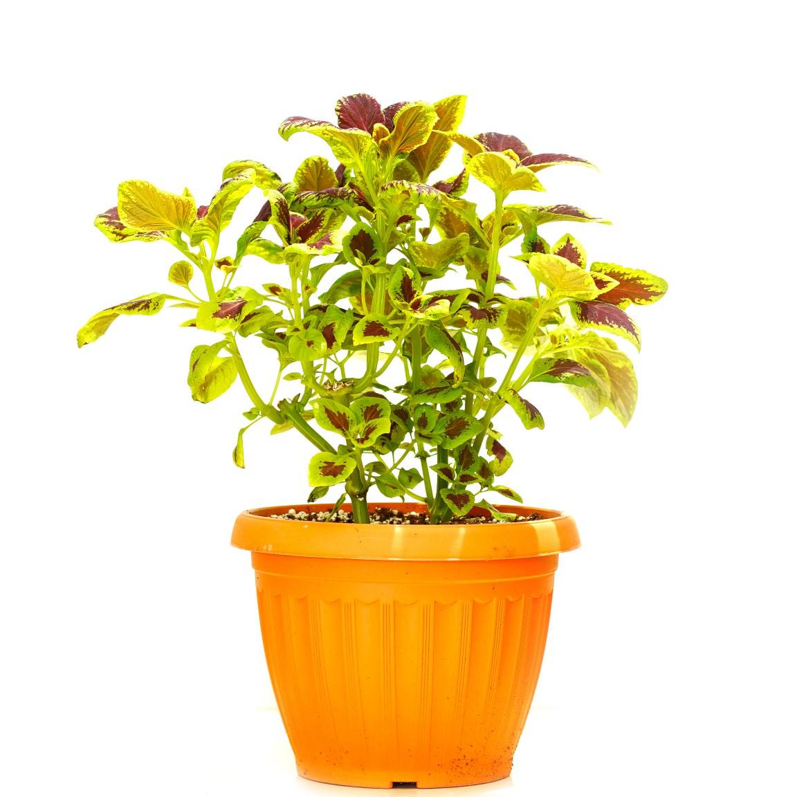 كوليوس 'نباتات داخلية'