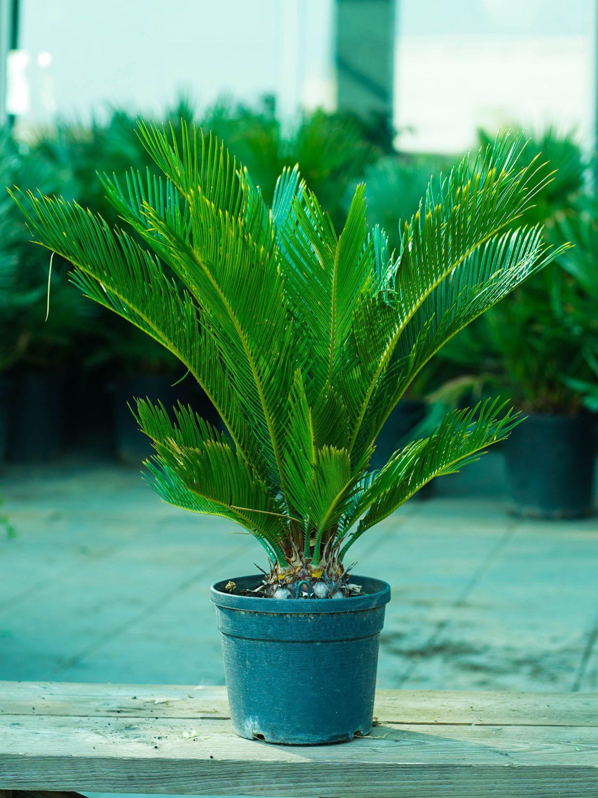 سيكاس ريفولوتا 'نباتات خارجية'