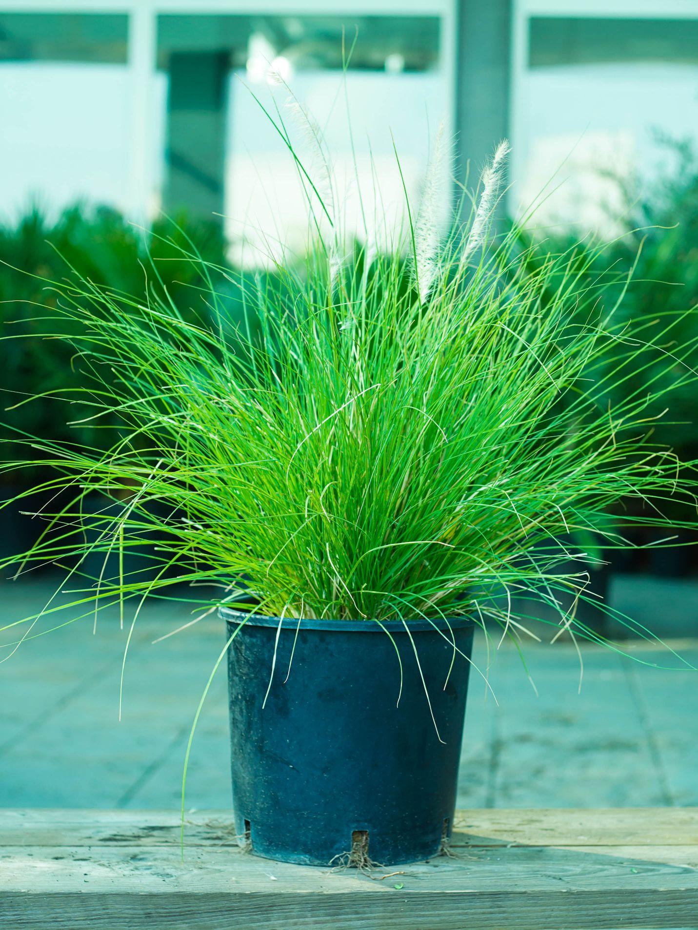 بننسيتوم ساتيسم 'نباتات خارجية'
