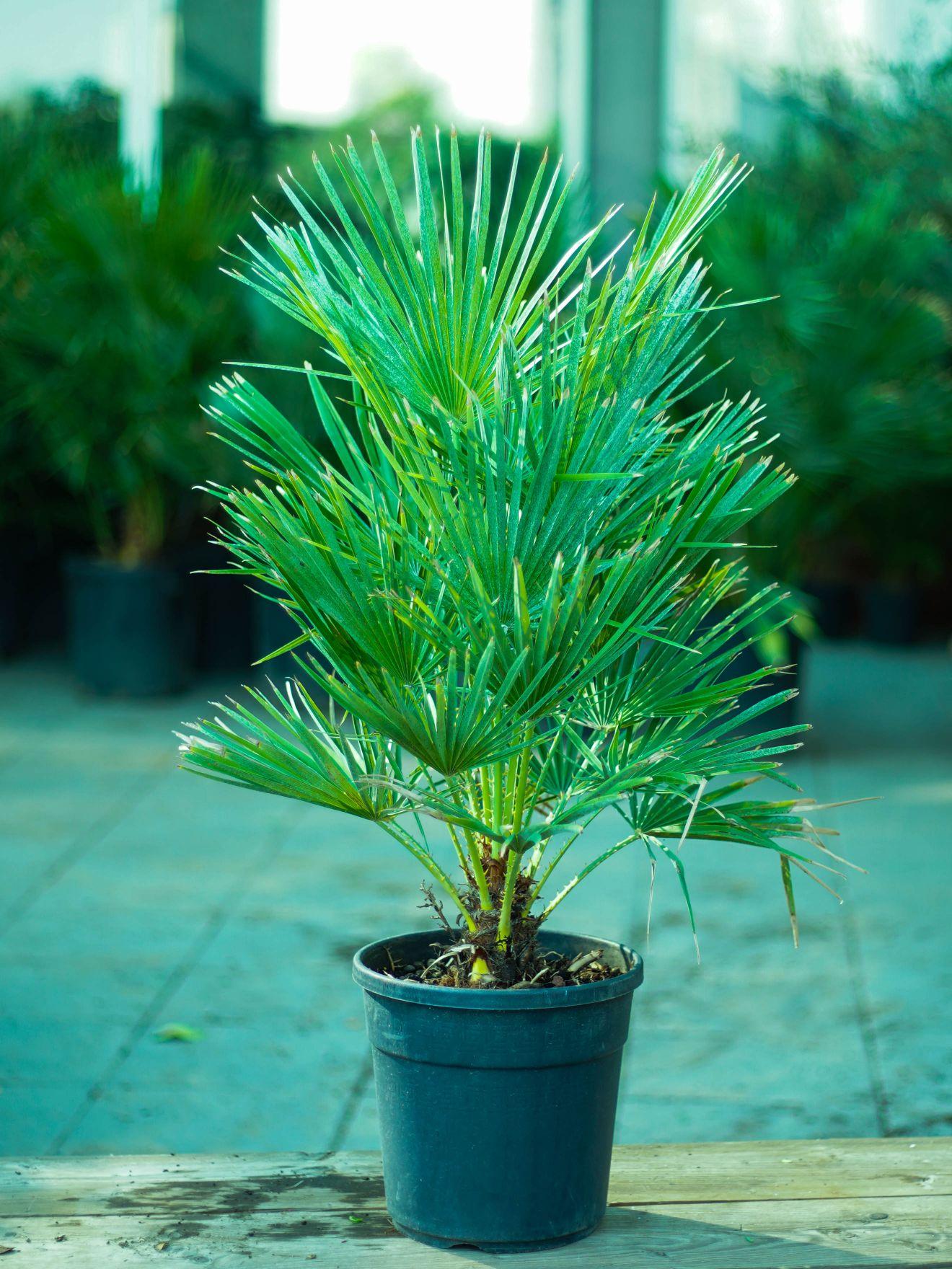 تشاميروبس هوميليس 'نباتات خارجية'