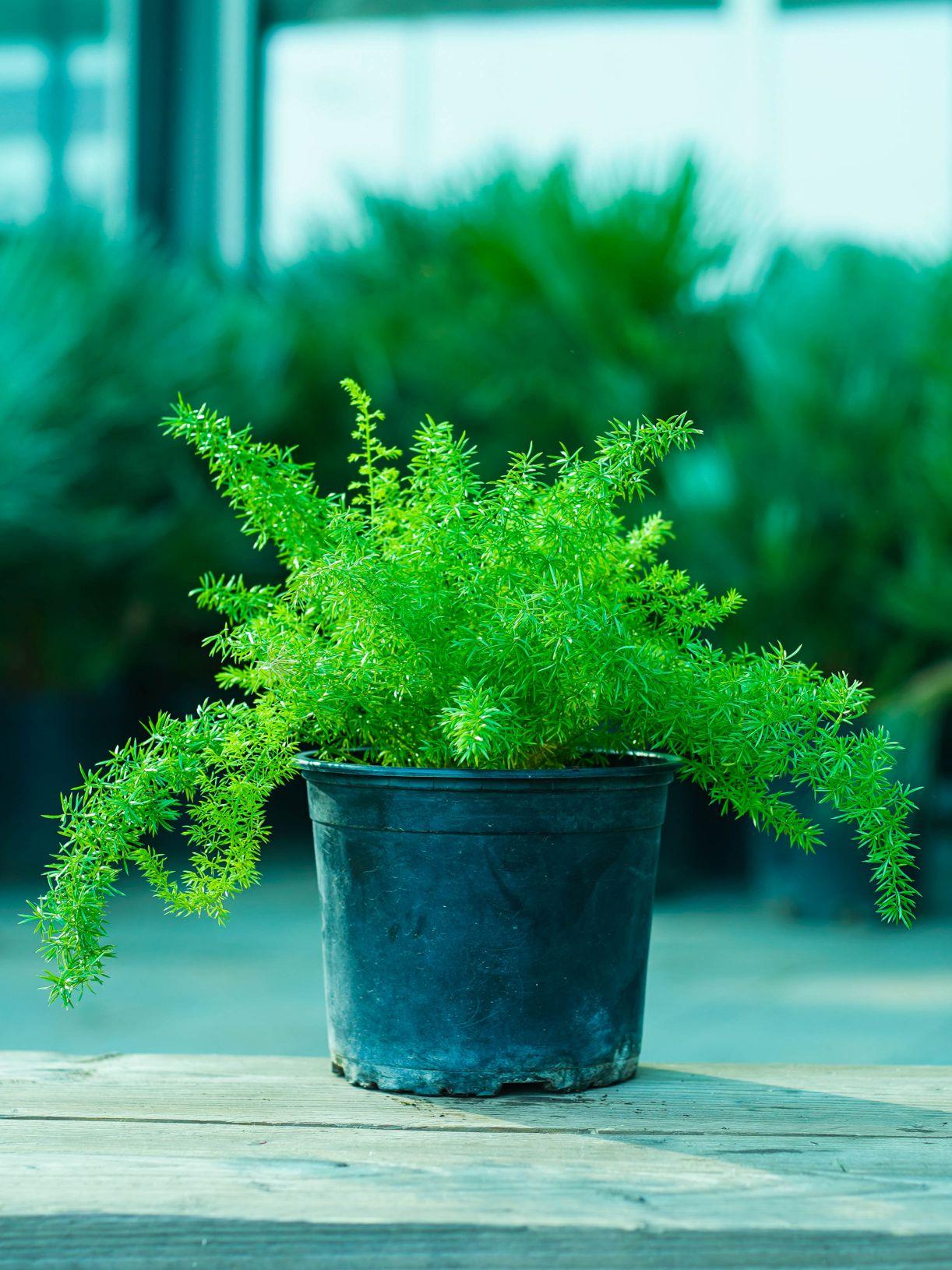 اسبراجوس الليوم نباتات خارجية