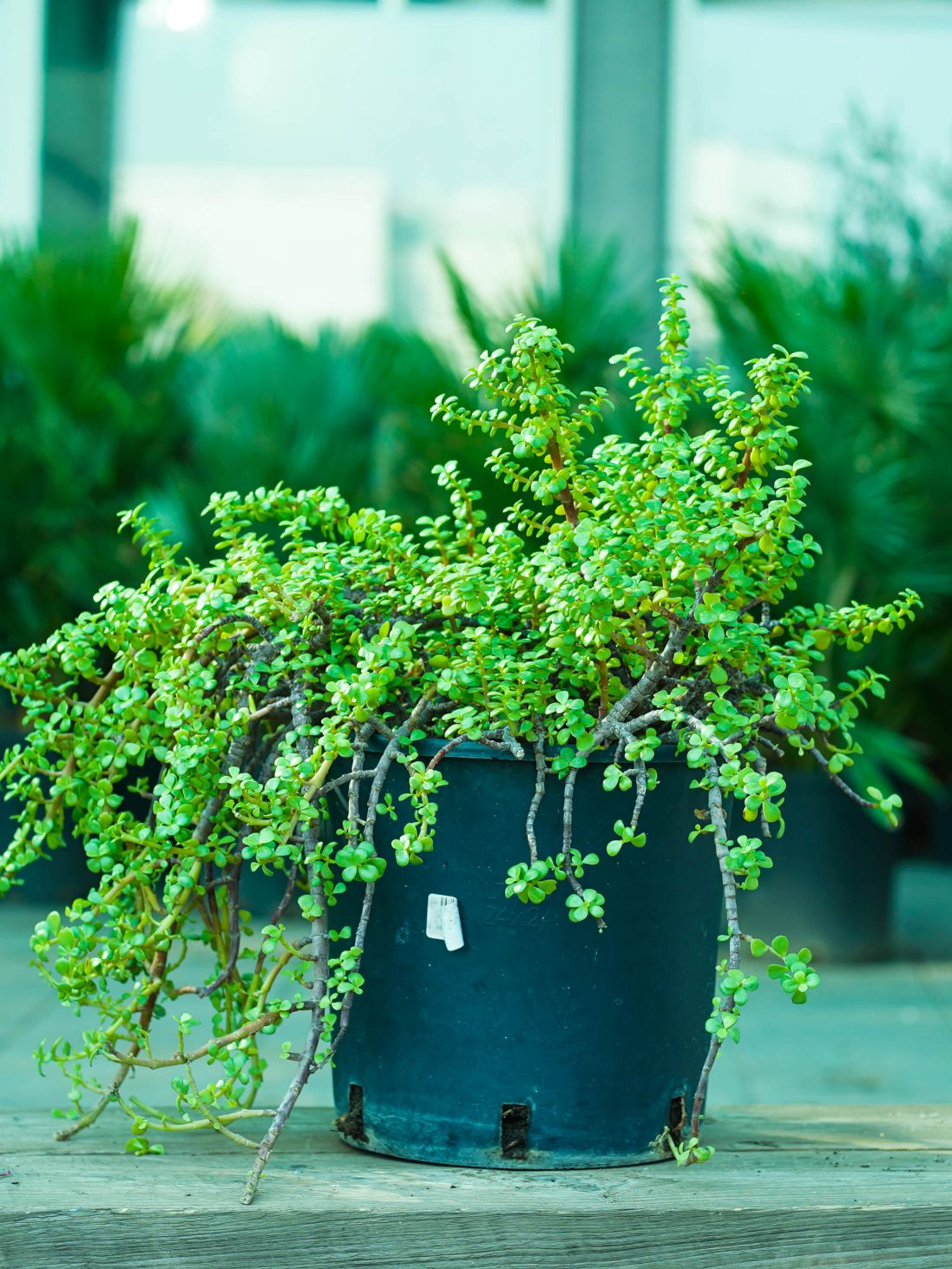 Portulacaria Afra Outdoor Plants