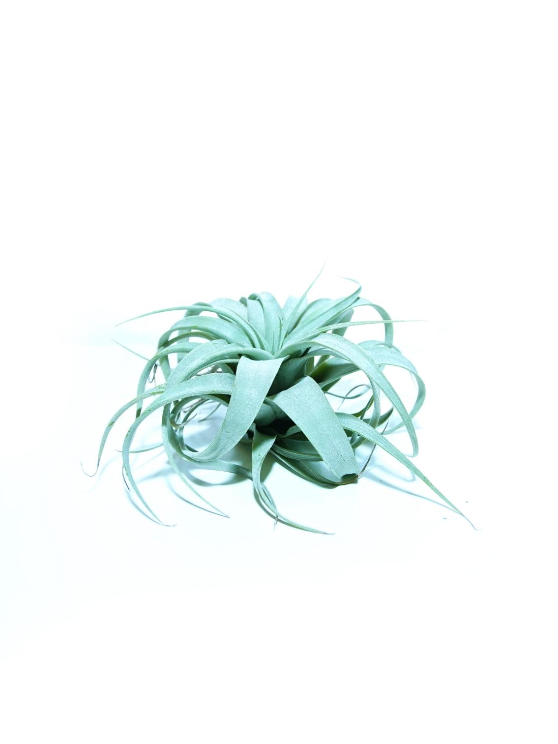 تيللاندسيا إكسيروجرافيكا 'نباتات داخلية'