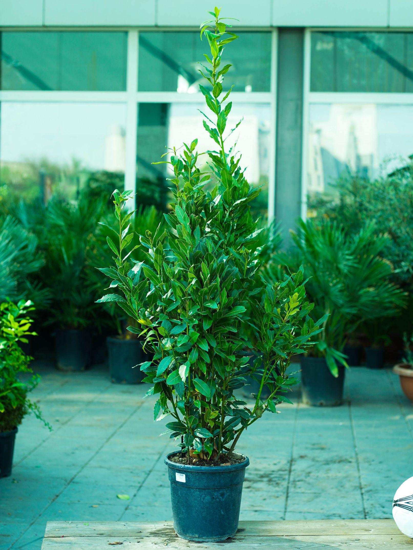 لوروس نوبيليس 'نباتات خارجية'