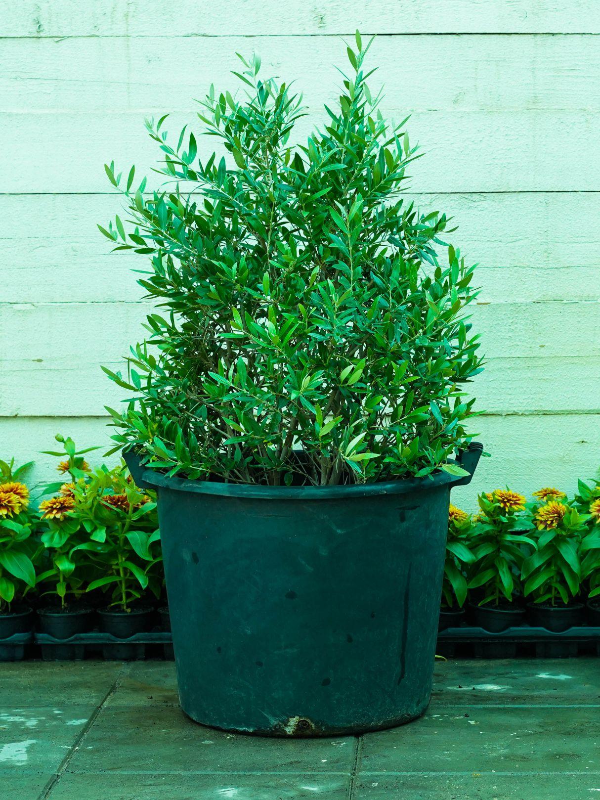 زيتون نباتات خارجية
