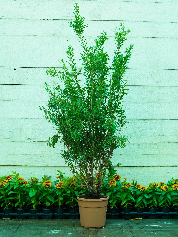 فرشه الزجاج نباتات خارجية