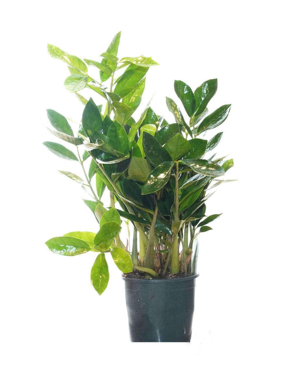 نبتة الزاميا 'نباتات داخلية'