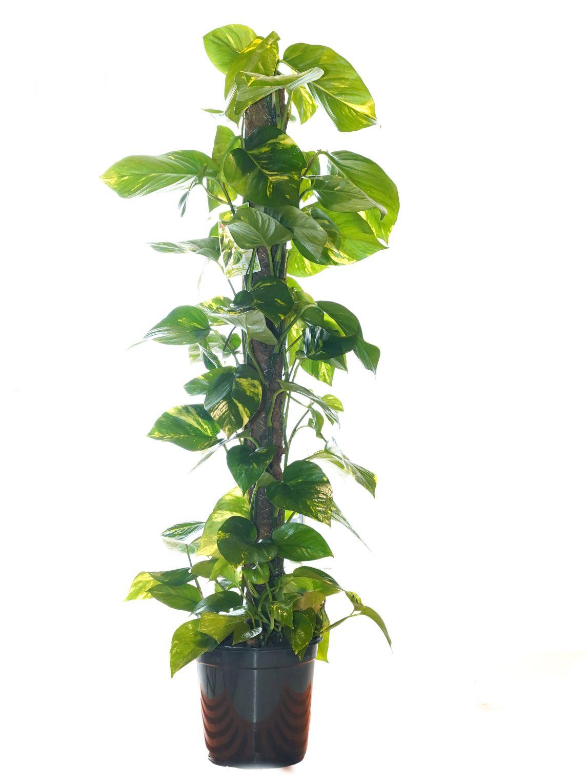 ايبريمنيوم أوريوم 'نباتات داخلية'