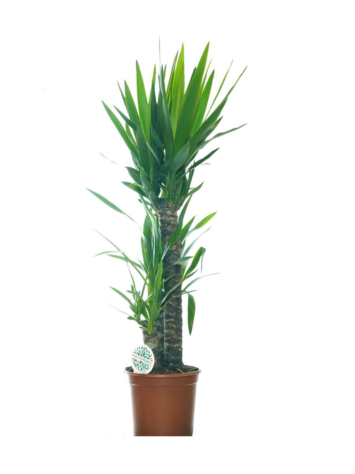 Yucca Indoor Plants