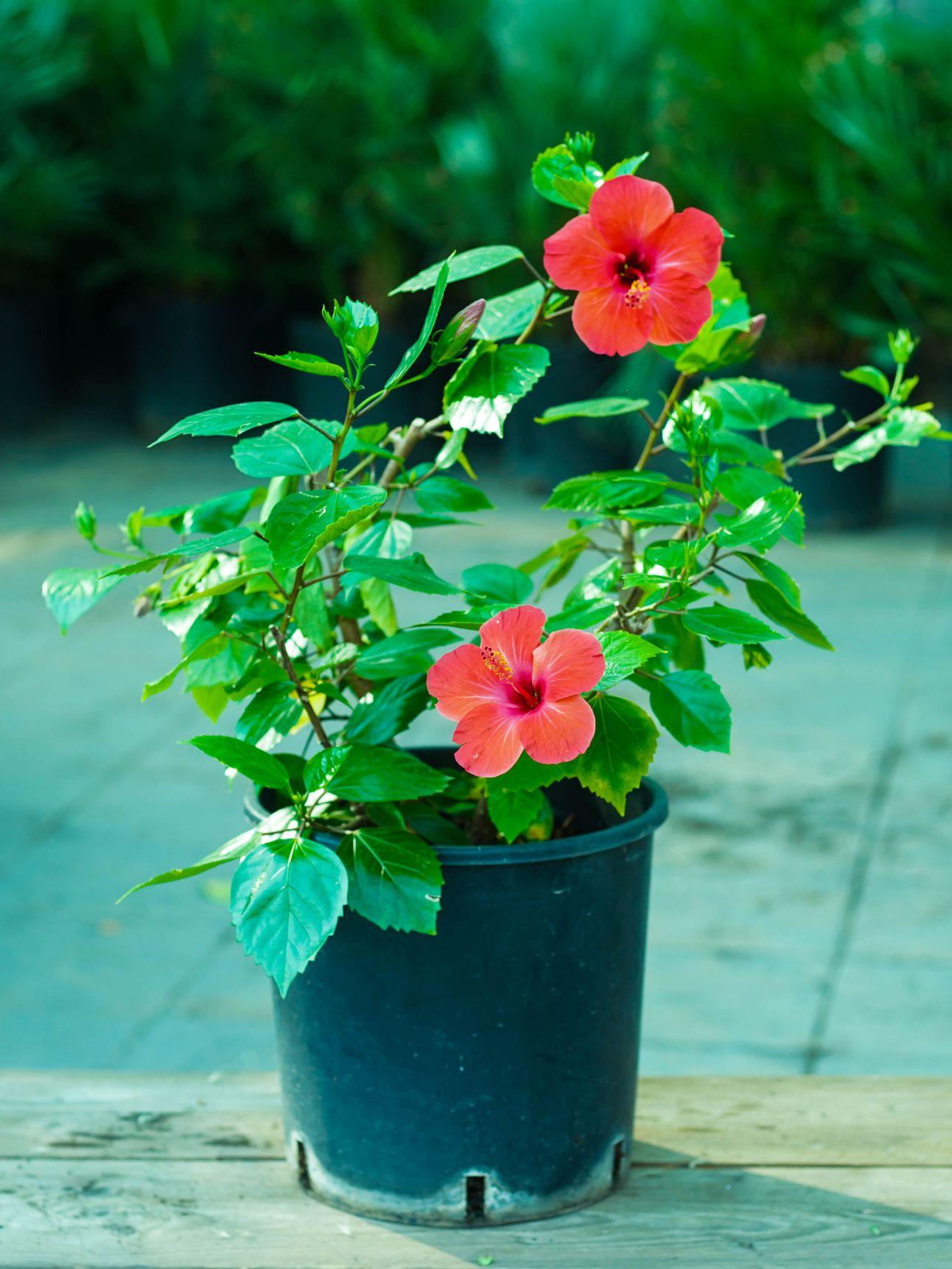 Hibiscus Red 'Outdoor Plants'