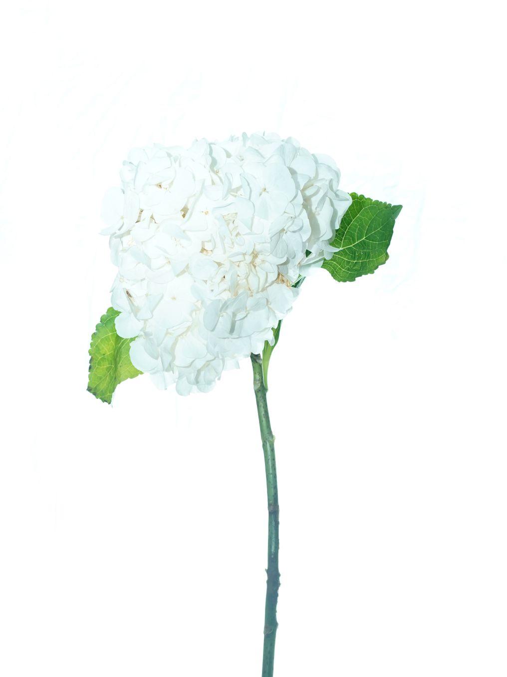 زهرة الهدرانج (أبيض) ' الزهور بالجملة'
