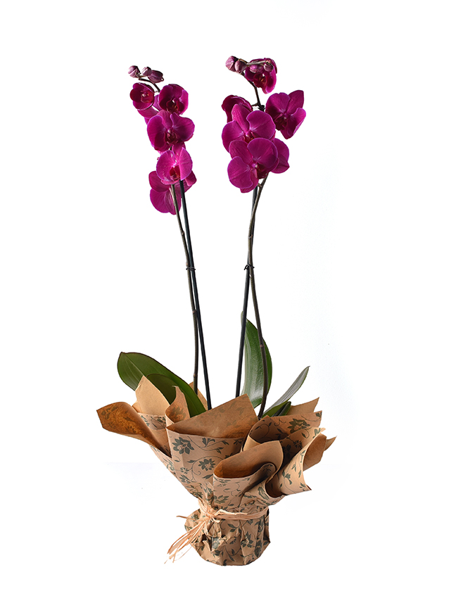 Orchid Phalaenopsis Purple Indoor Plants