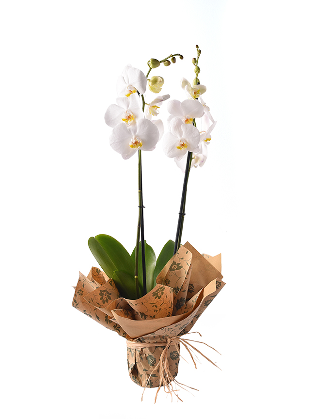 Orchid Phalaenopsis White Indoor Plants