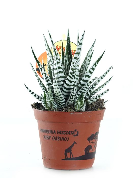 Haworthia Fasciata Zebra 'Indoor Plants'