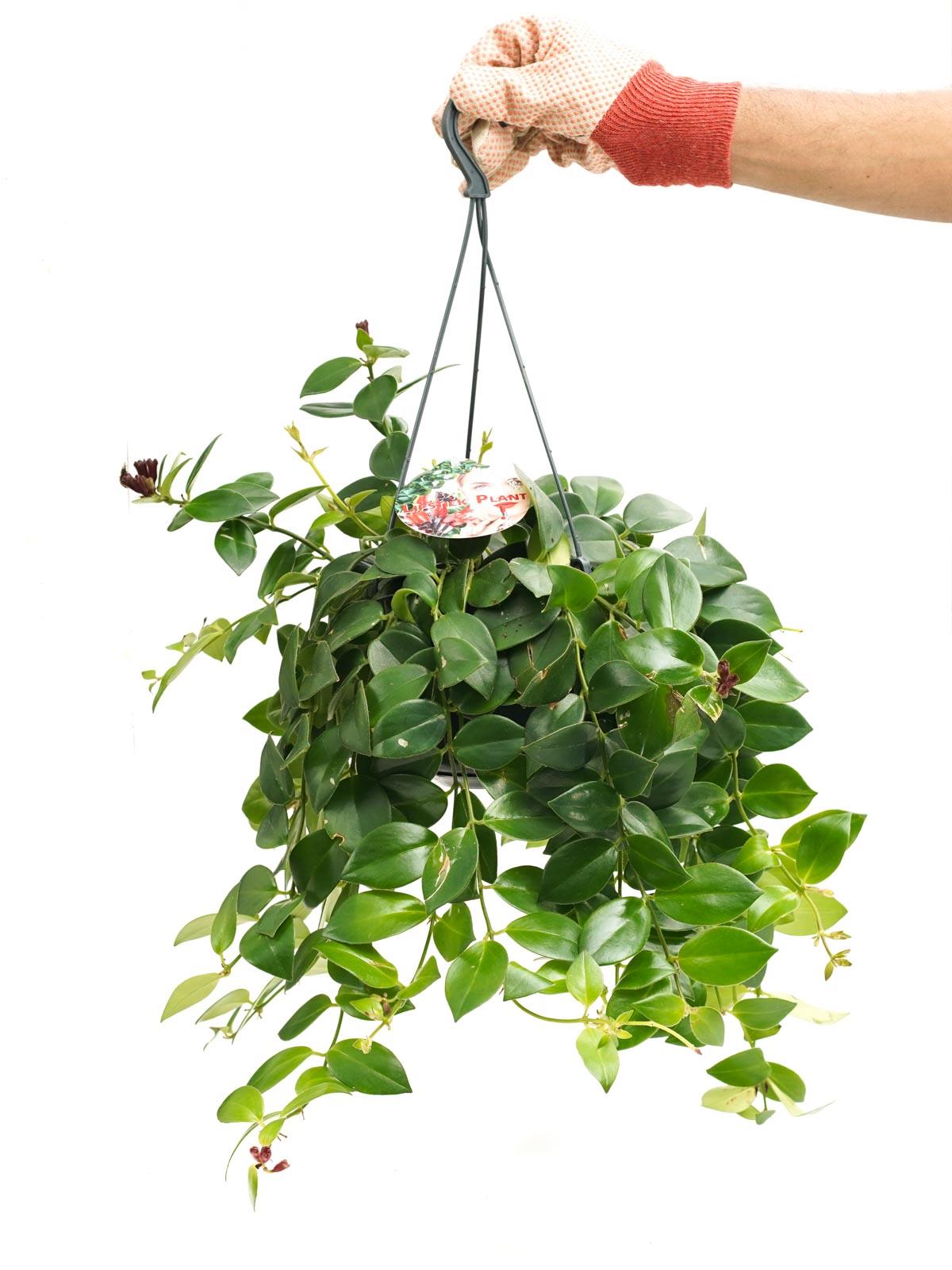 Aeschynanthus MonaLisa 'Indoor Plants'