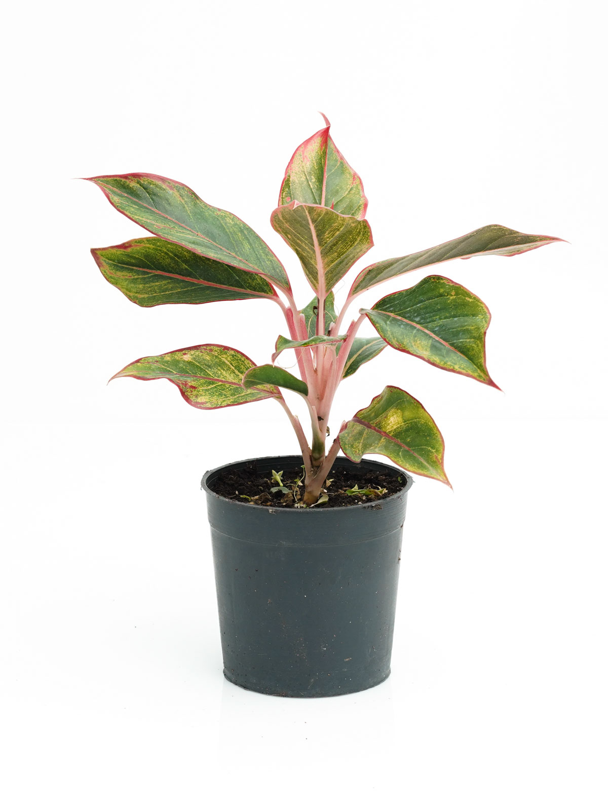 Aglaonema Red 'Indoor Plants'