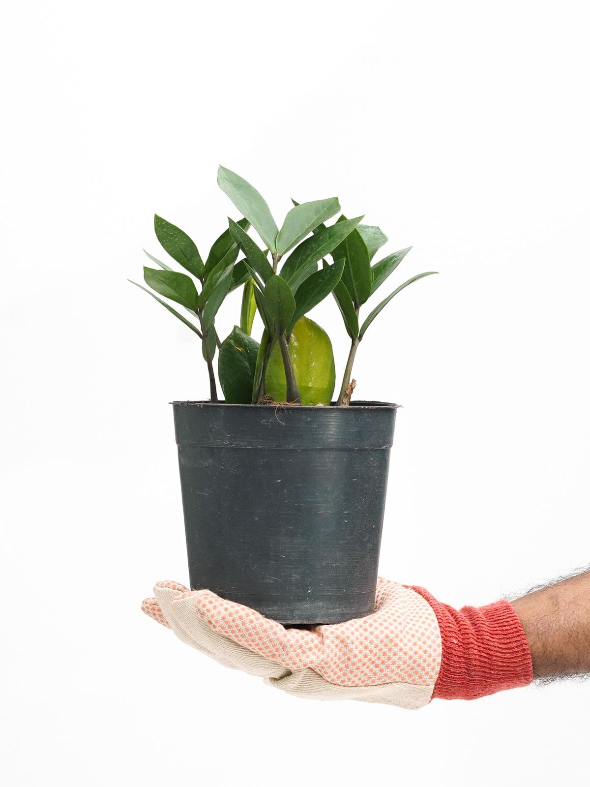 نبتة الزاميا نباتات داخلية