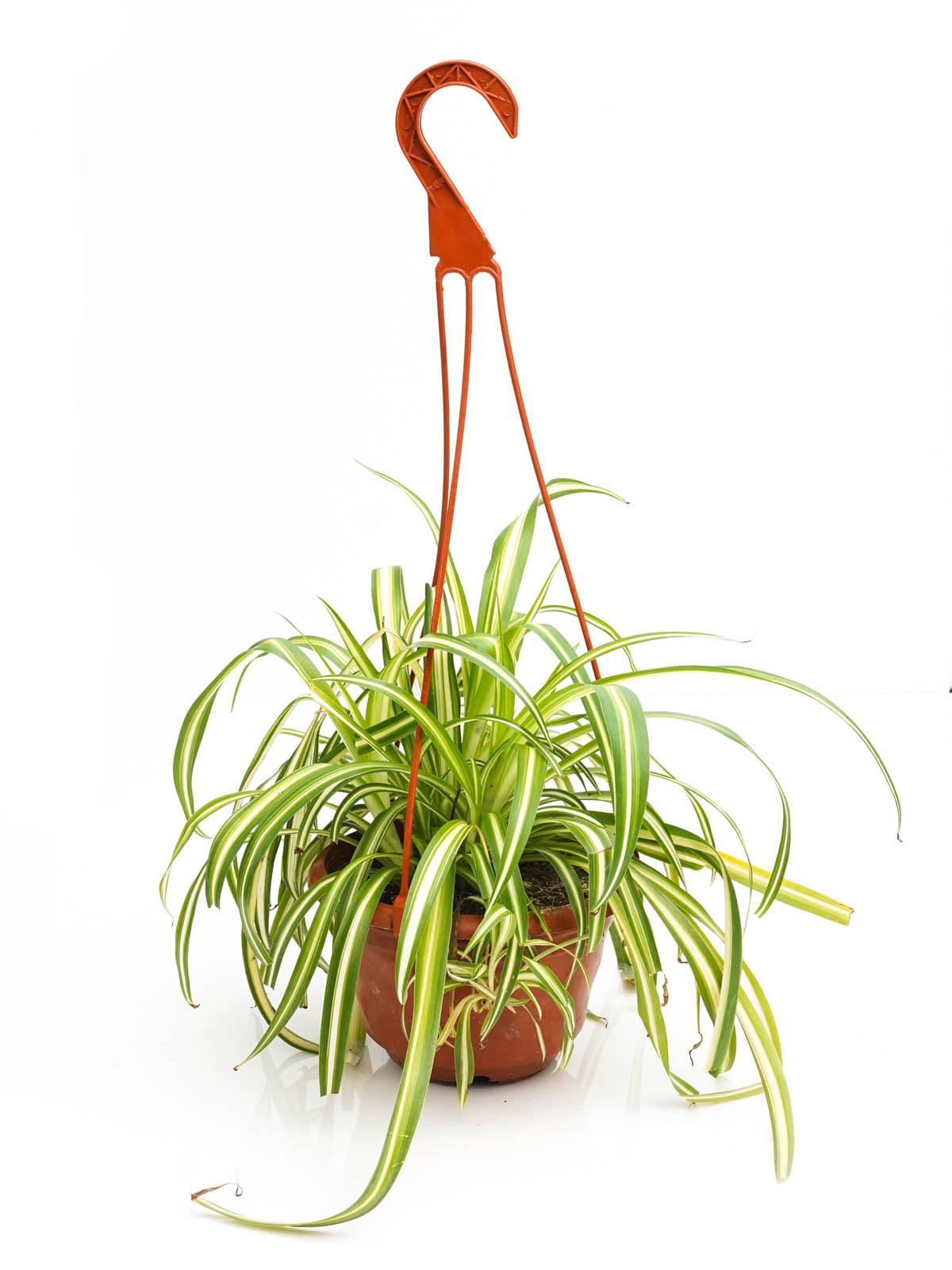كلوروفيتوم نباتات داخلية