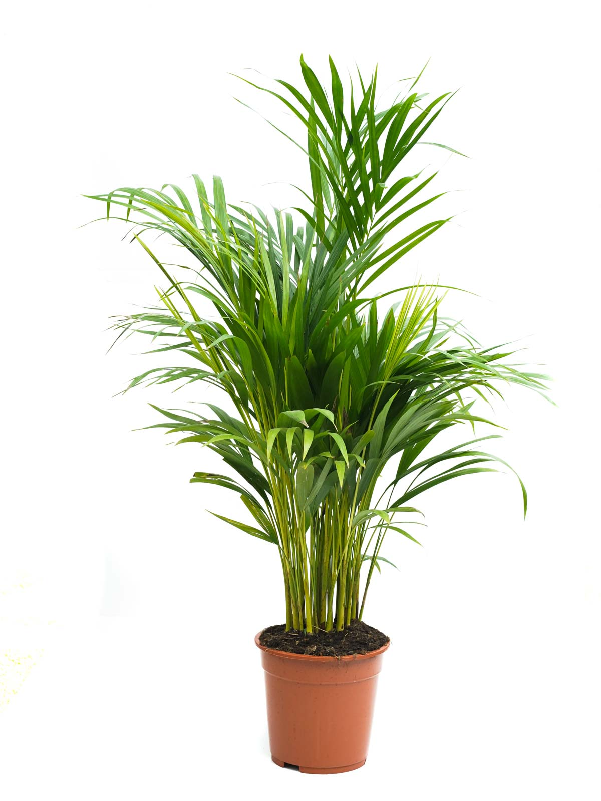 أريكا هولاند نباتات داخلية