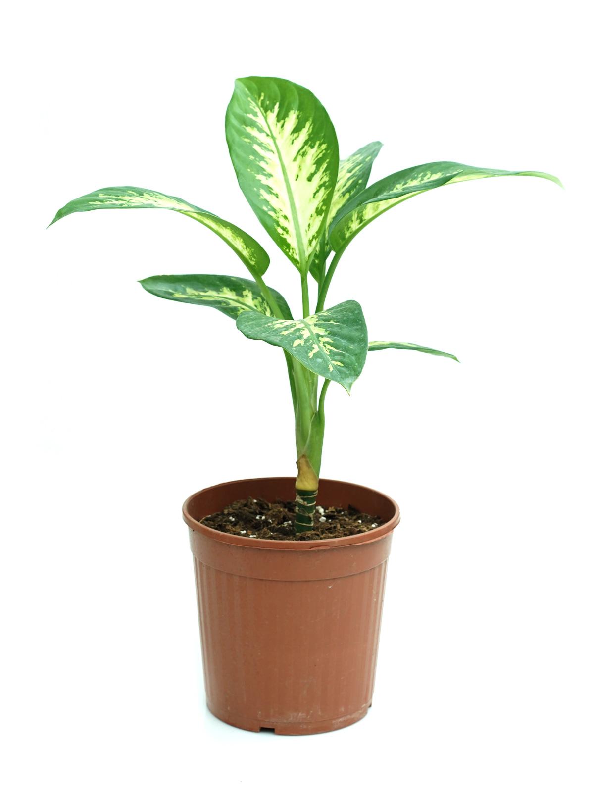 نبات الدفنبخيا تروبيك سنو 'نباتات داخلية'