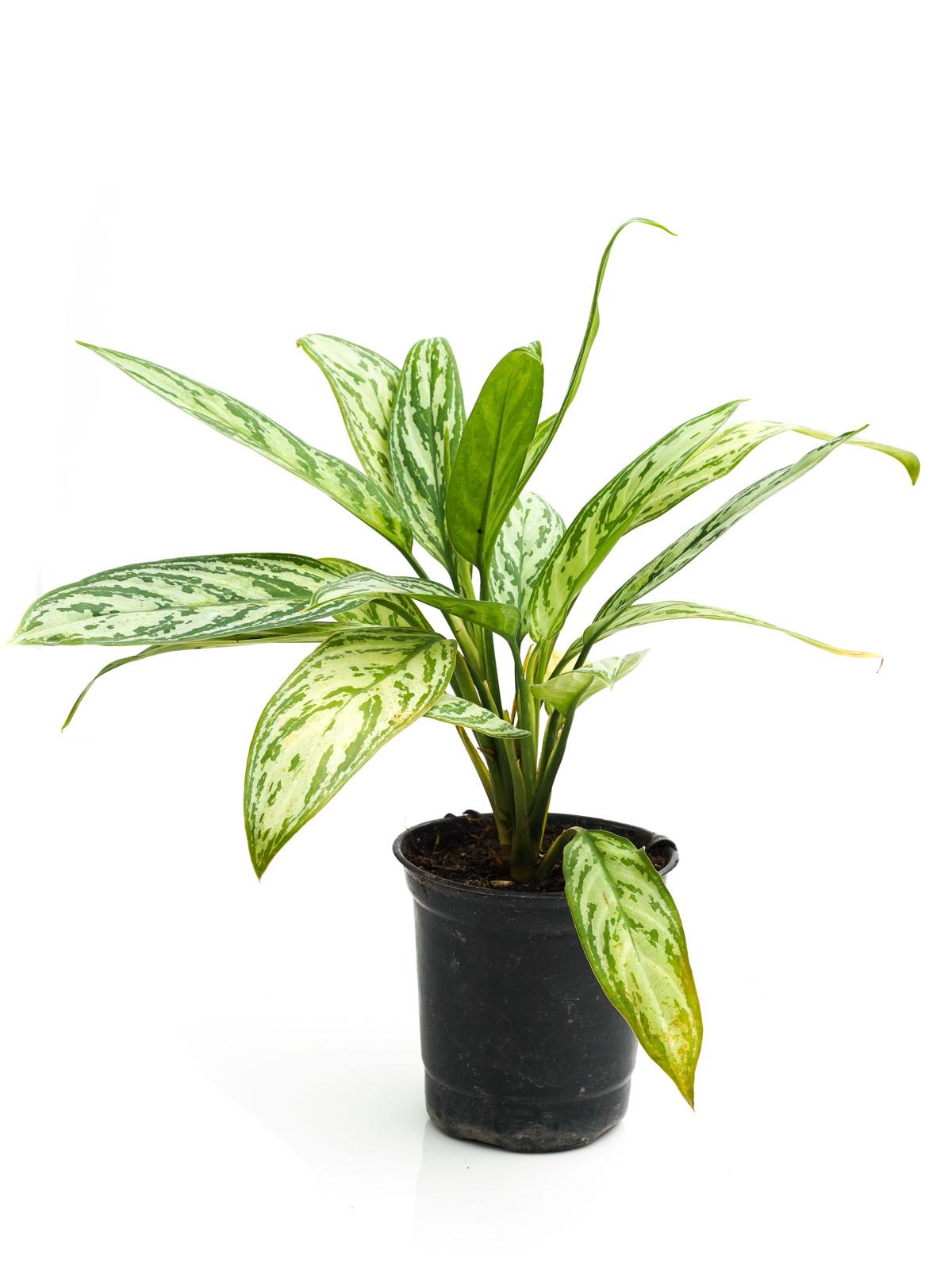 Aglaonema Silver Queen 'Indoor Plants'