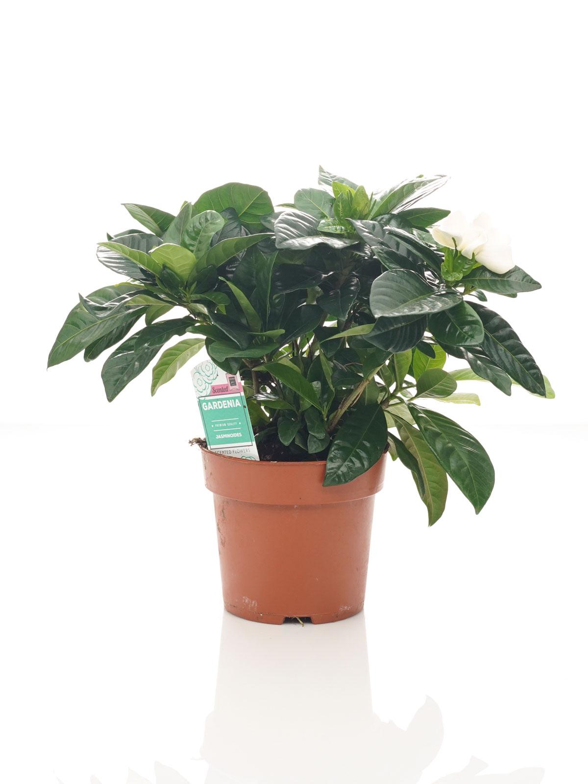 جاردينيا 'نباتات خارجية'