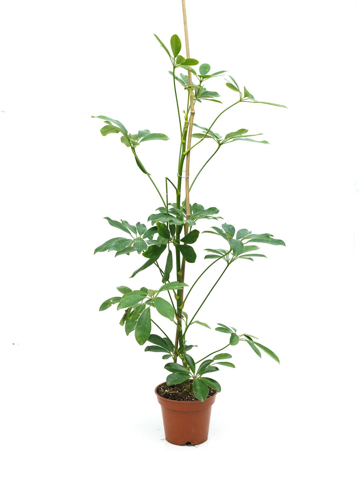 Schefflera Green Indoor Plants