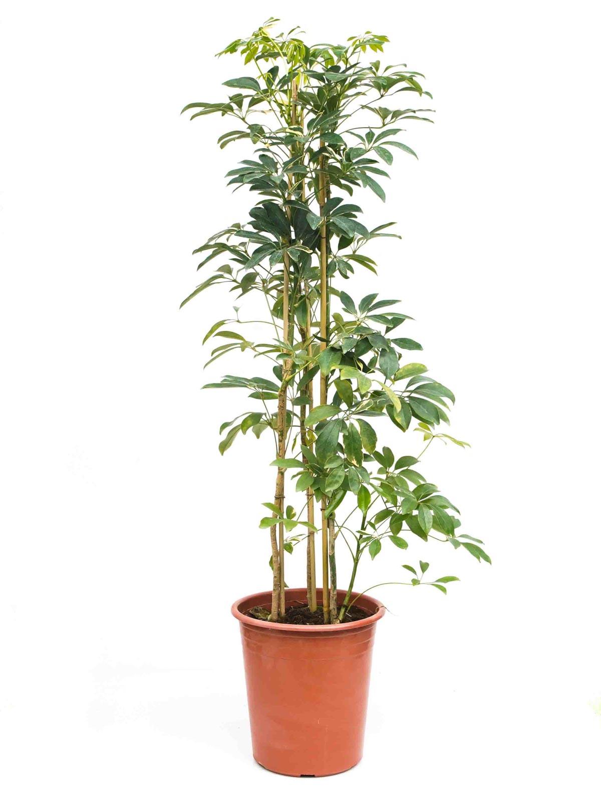 شيفليرا ذهبي و أخضر  نباتات داخلية