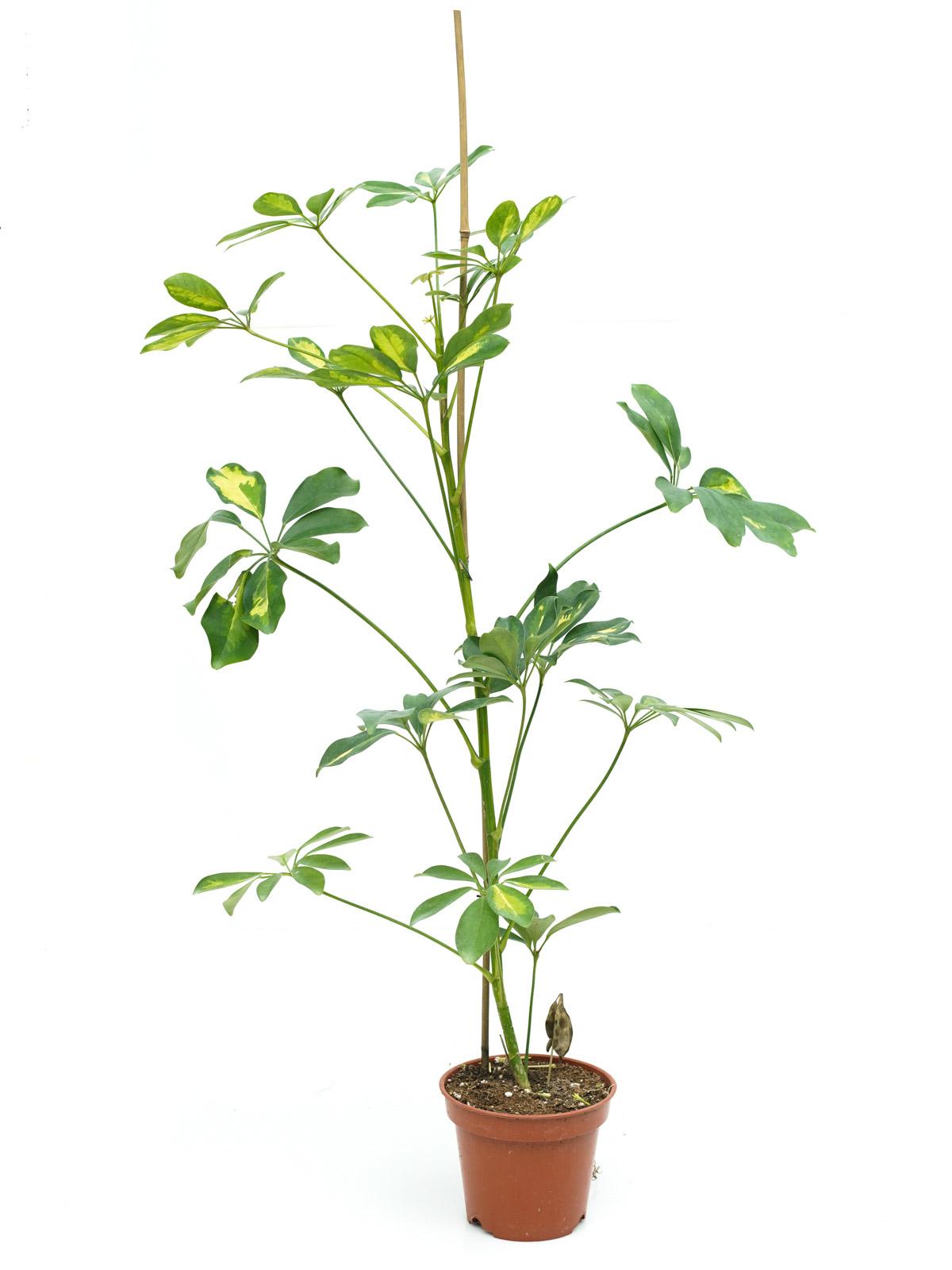 Schefflera Gold & Green Indoor Plants