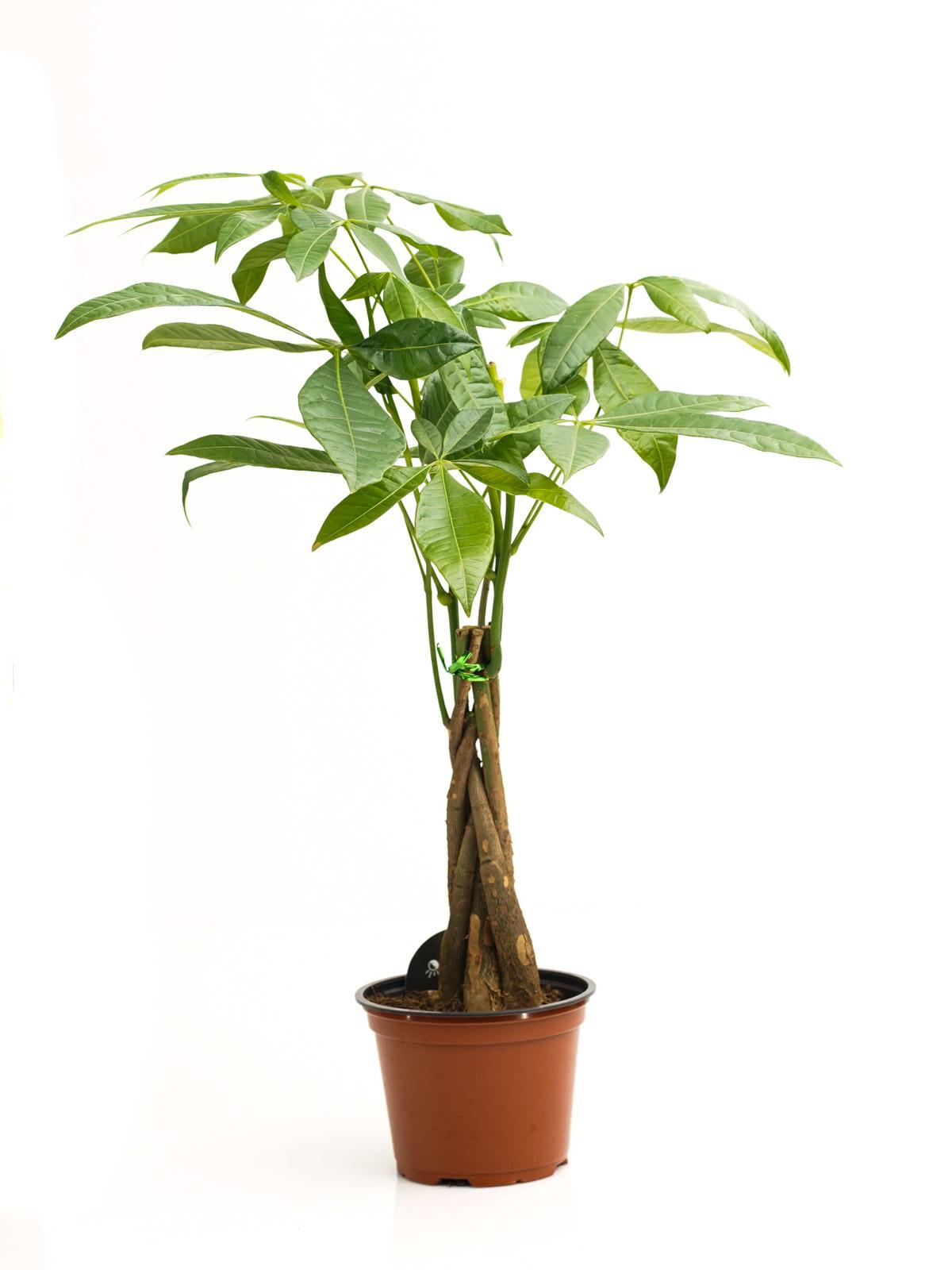 باتشيرا مجدلة صغيرة  'نباتات داخلية'