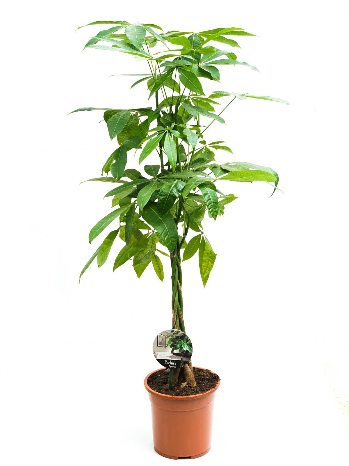 Pachira Braided  'Indoor Plants'