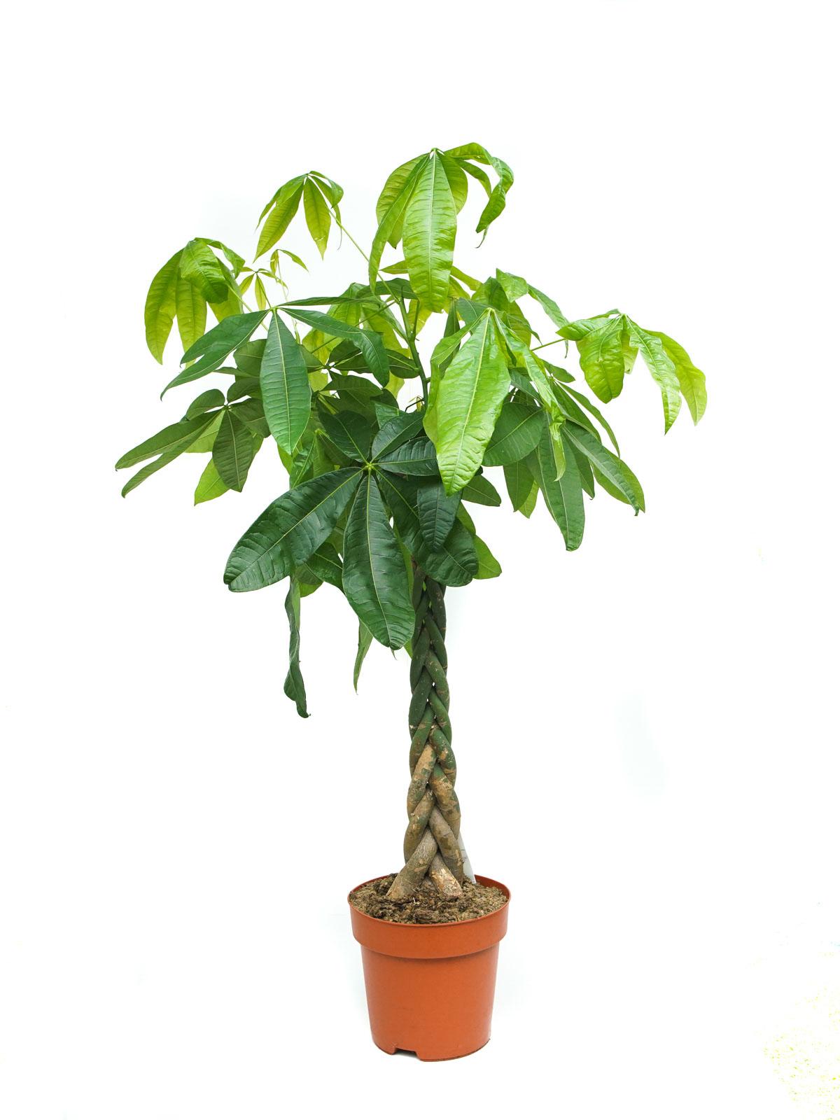 Pachira Braided Holland 'Indoor Plants'