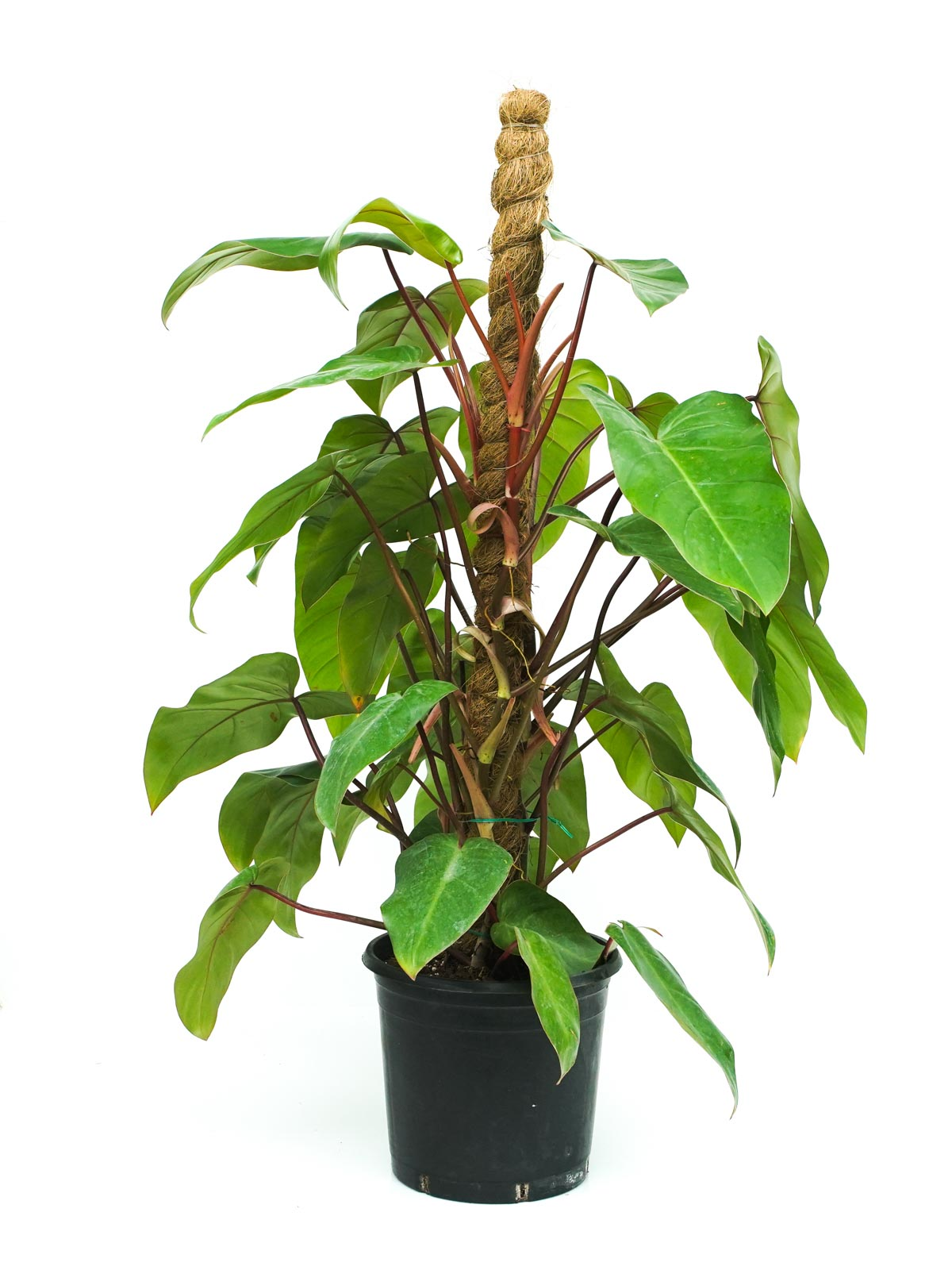 Philodendron Emerald Red Stick 'Indoor Plants'