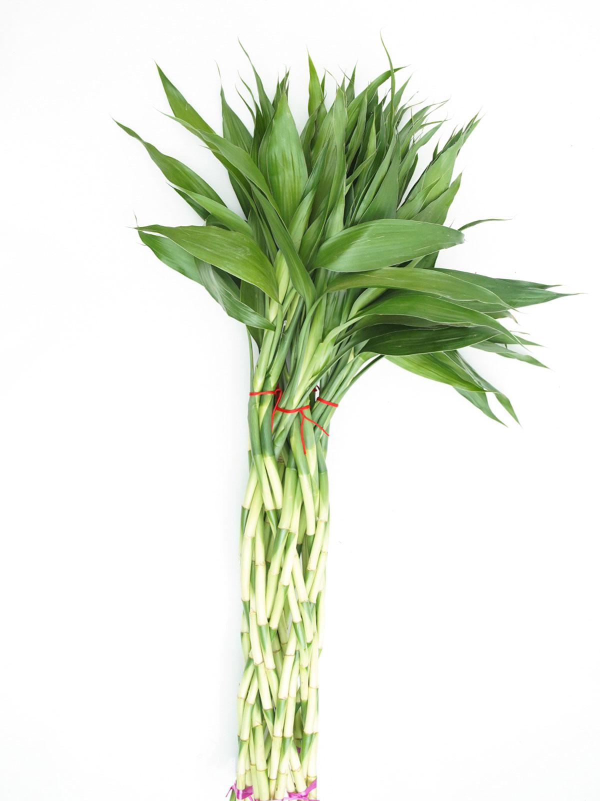 Lucky Bamboo Magdola Indoor Plants