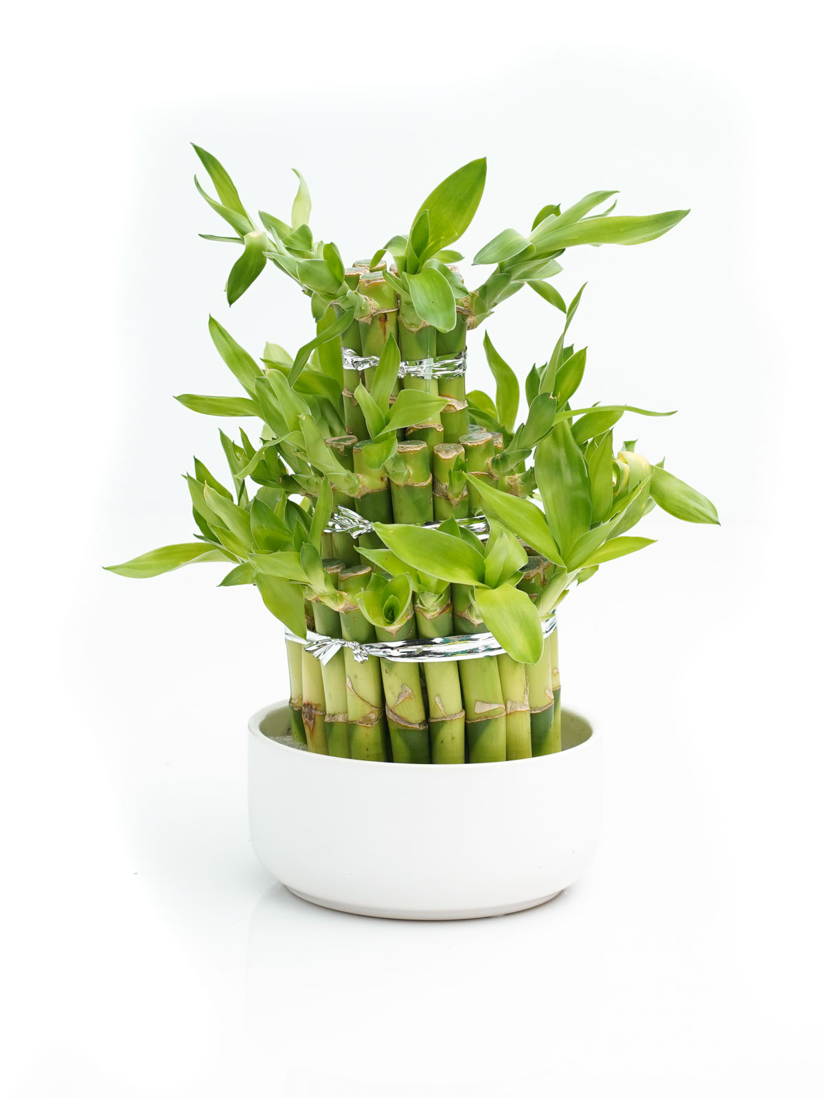 Lucky Bamboo  Indoor Plants