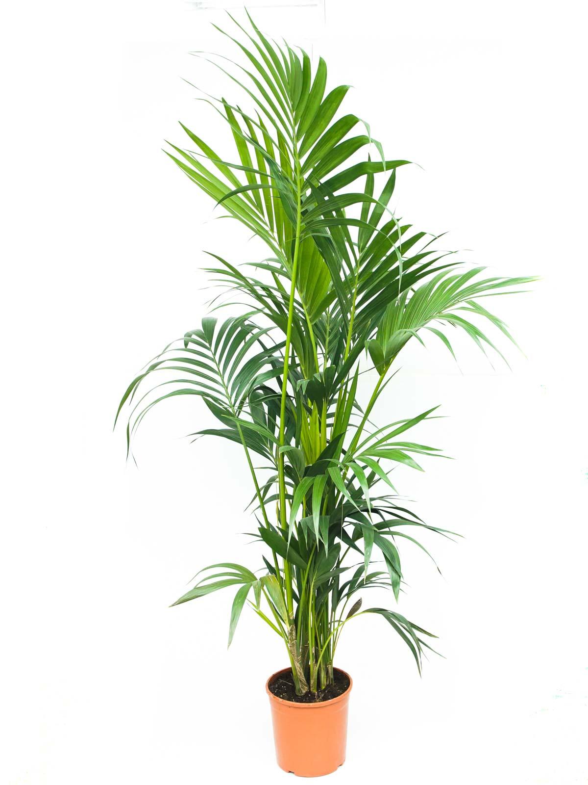 كينتيا نباتات داخلية