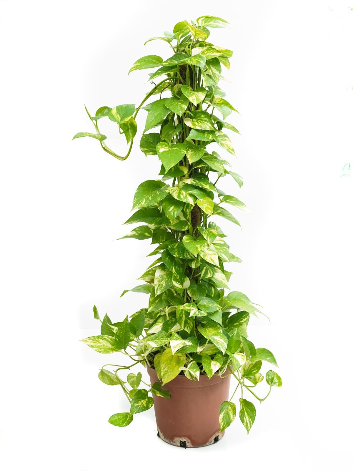 Epipremnum Scindapsus Indoor Plants