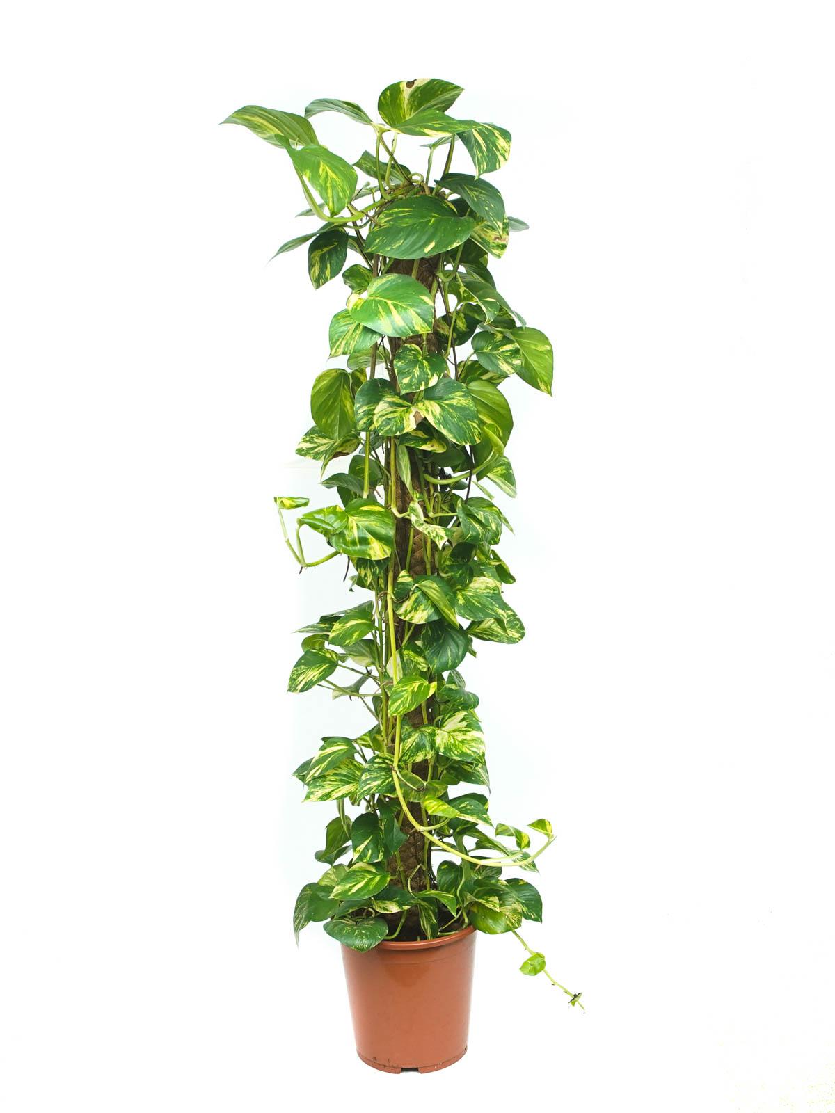 Epipremnum Mosstok Holland Indoor Plants